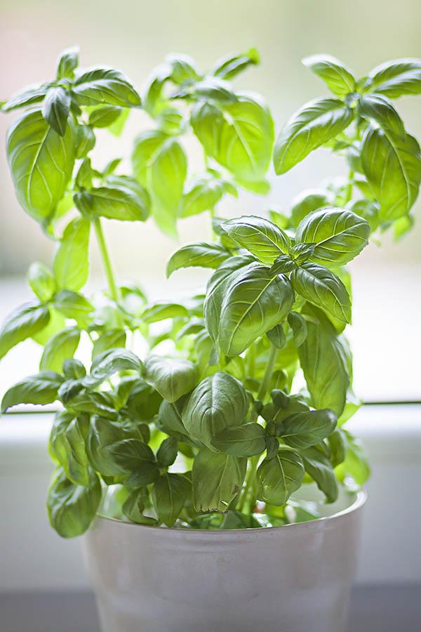 Базилик на окне выращивание