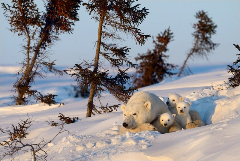 polar-bear-025