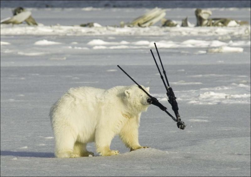 polar-bear-038