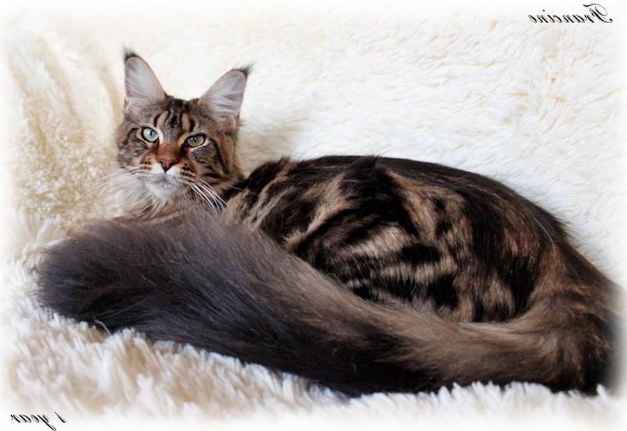 Коты породы Мейн-кун и их внешность 1