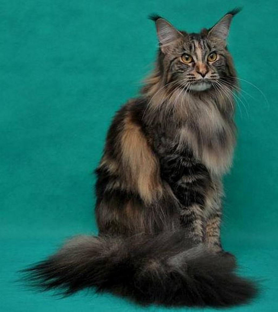 Коты породы Мейн-кун и их внешность 2