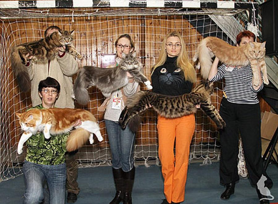Коты породы Мейн-кун и их внешность 4