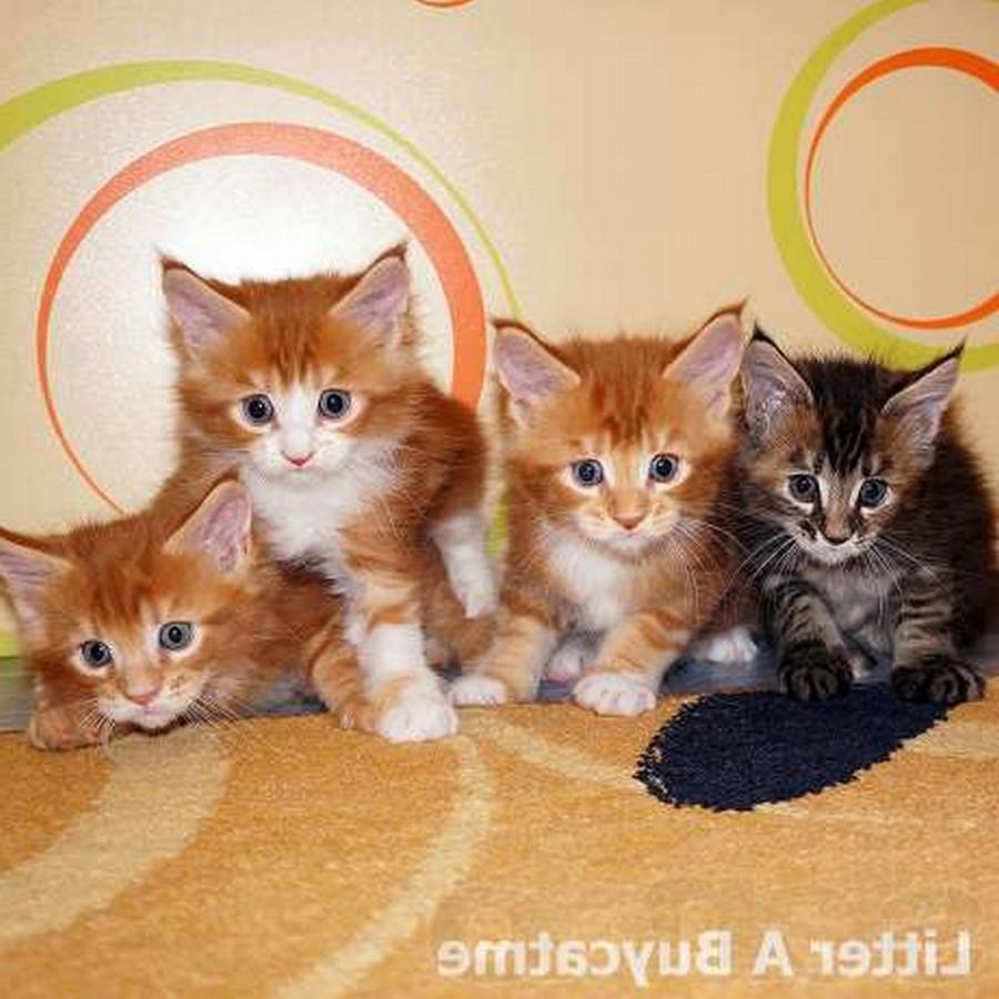 Коты породы Мейн-кун и их внешность 5
