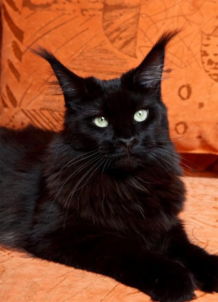 Коты породы Мейн-кун и их внешность 6