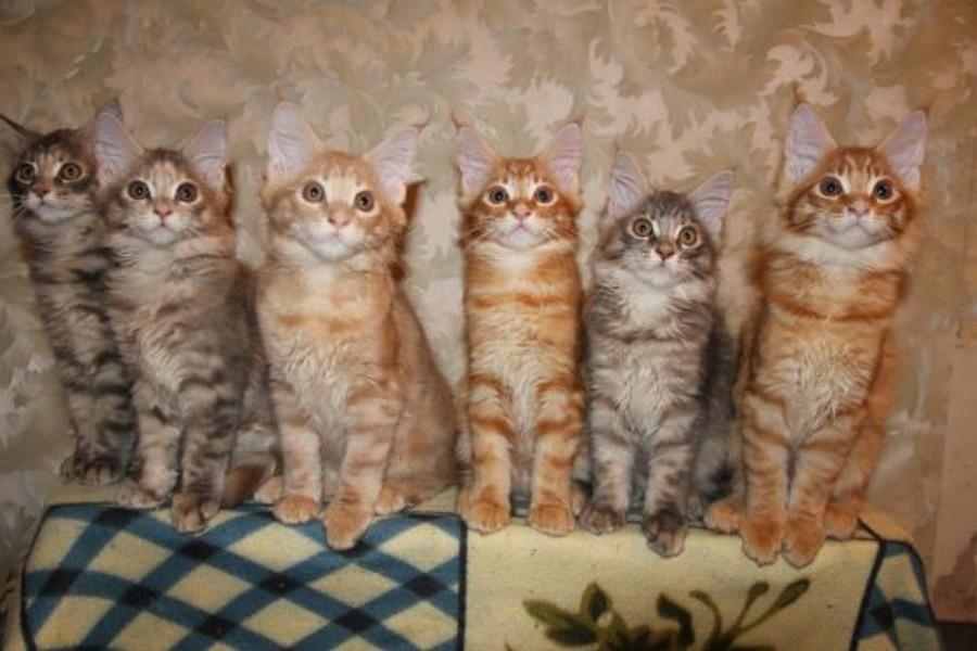 Коты породы Мейн-кун и их внешность 7