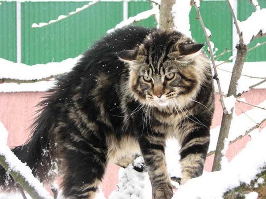 Коты породы Мейн-кун и их внешность 8