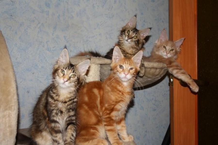 Коты породы Мейн-кун и их внешность 9