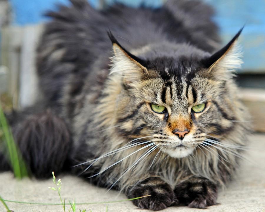 Коты породы Мейн-кун и их внешность 10