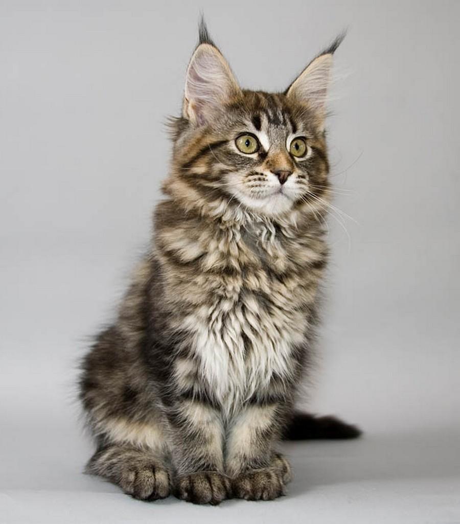 Коты породы Мейн-кун и их внешность 11