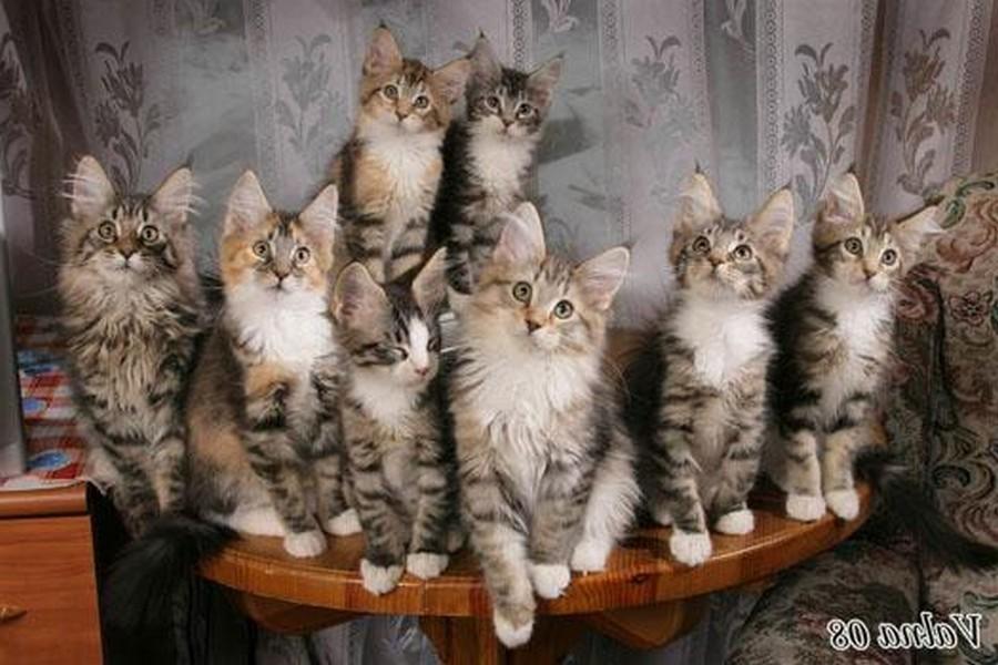 Коты породы Мейн-кун и их внешность 13