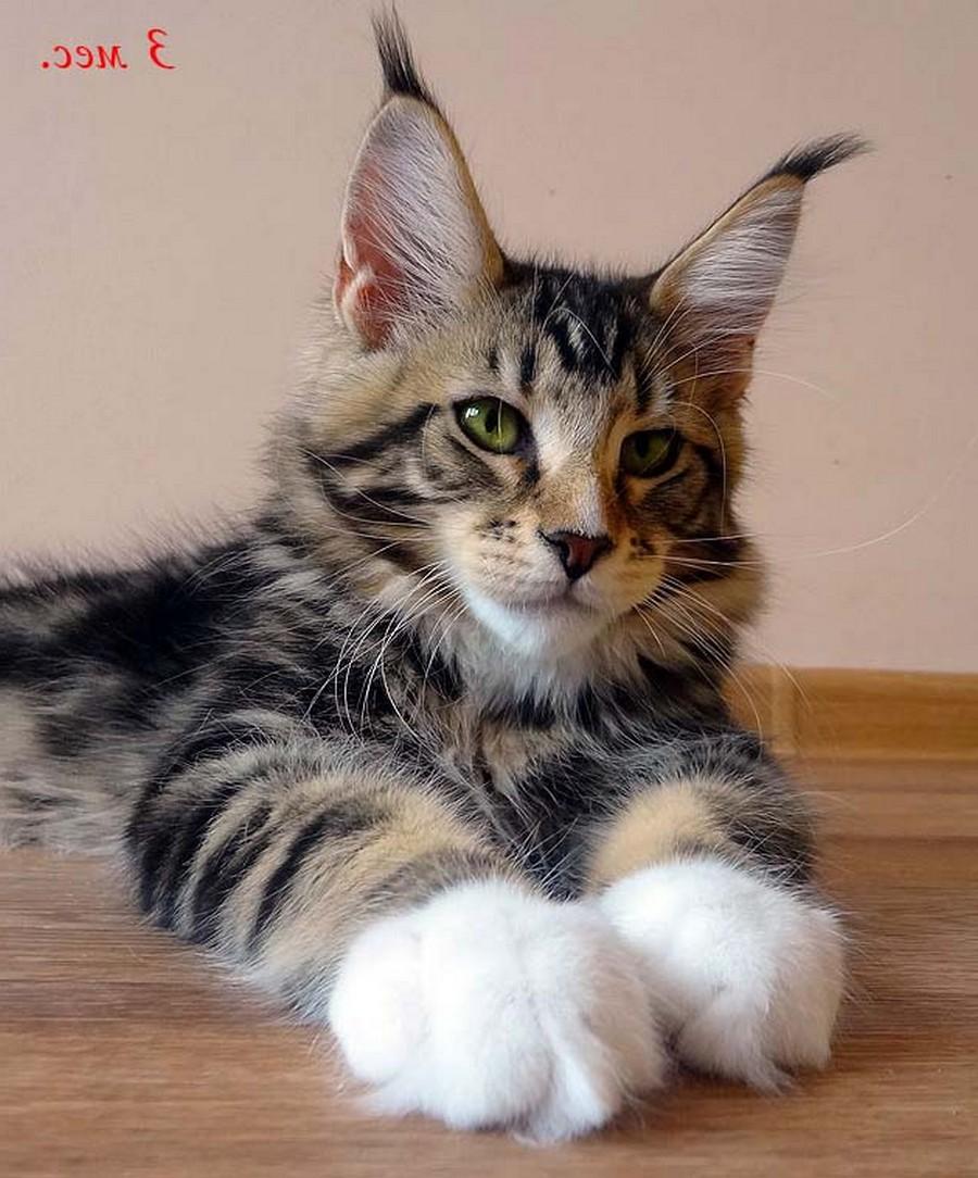 Коты породы Мейн-кун и их внешность 14