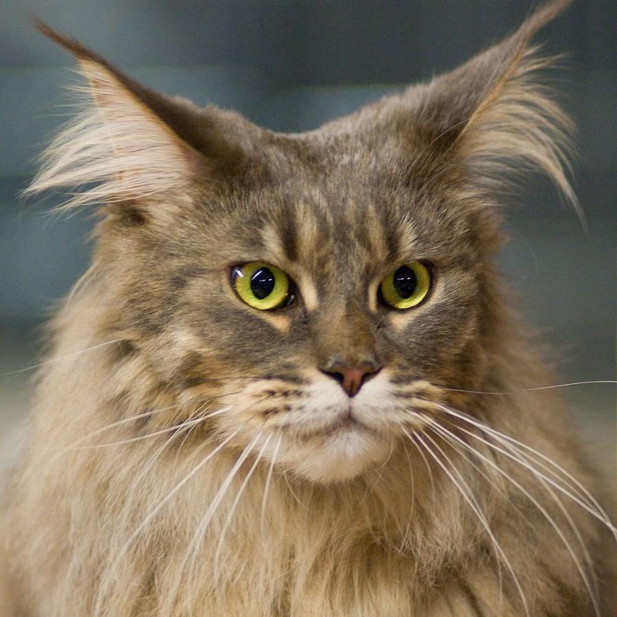Коты породы Мейн-кун и их внешность 15
