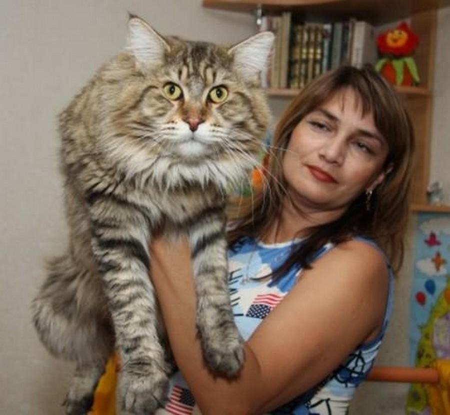 Коты картинки мейн кун