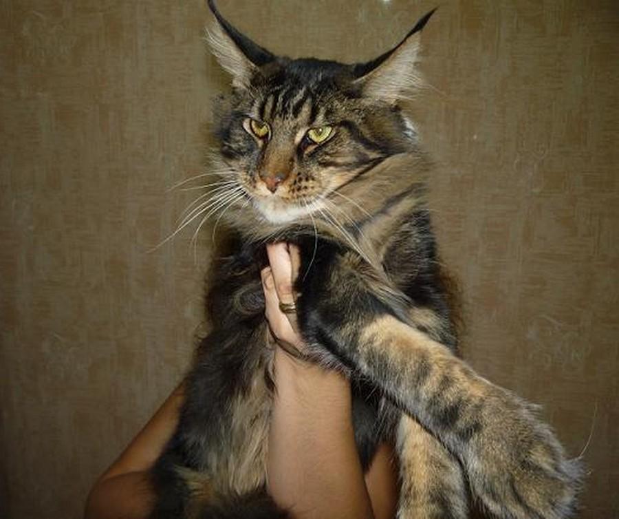 Коты породы Мейн-кун и их внешность 17