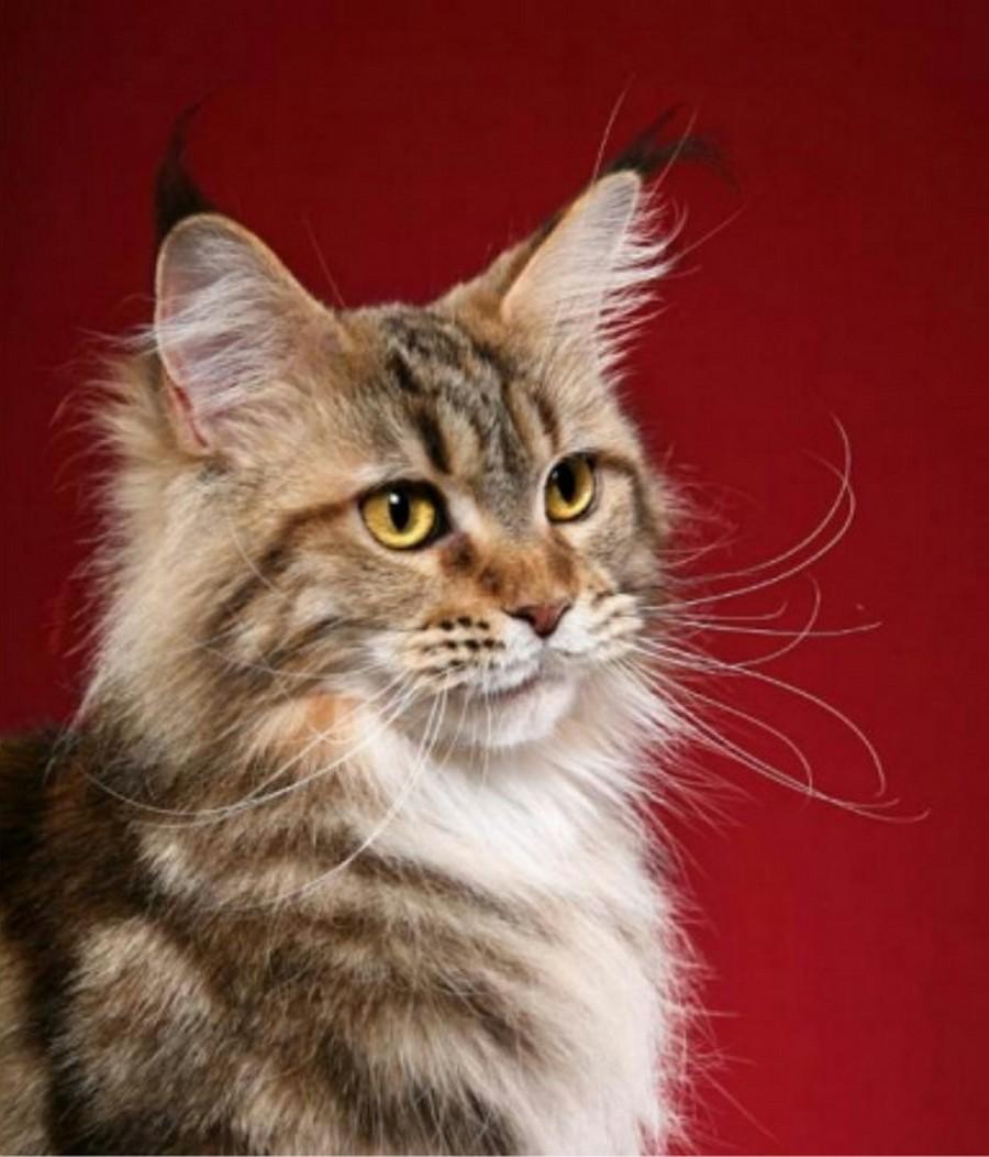 Коты породы Мейн-кун и их внешность 18