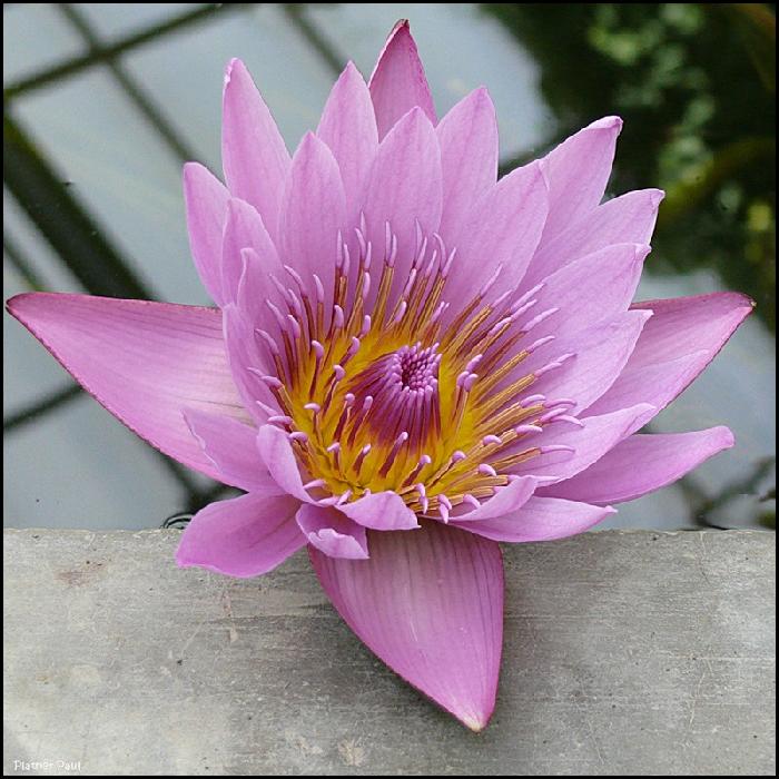 Лотос – буддийский символ чистоты