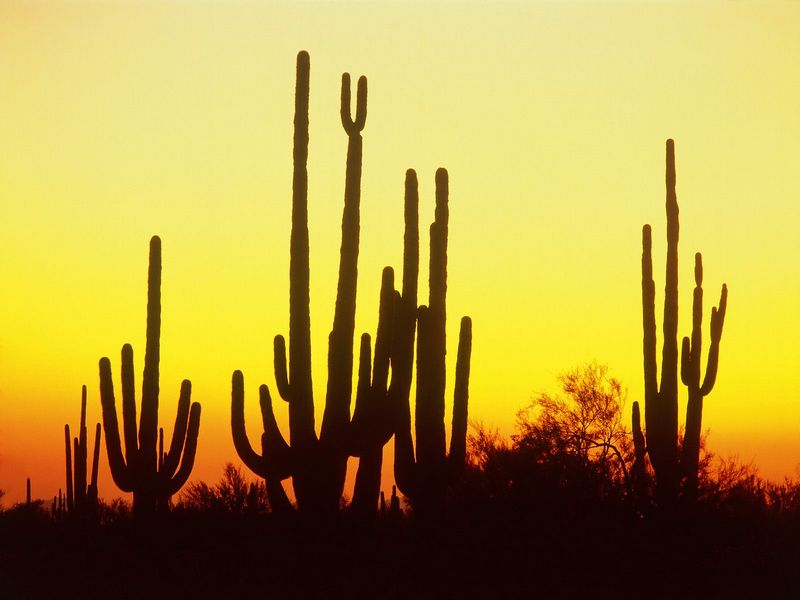 Красивые фото заката солнца - Saguaro Cactus at Sunset, Arizona