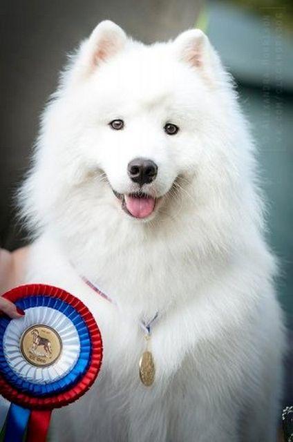 Самоедская собака - самая древняя порода 2