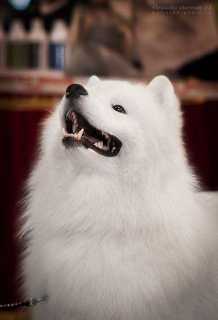 Самоедская собака - самая древняя порода 3