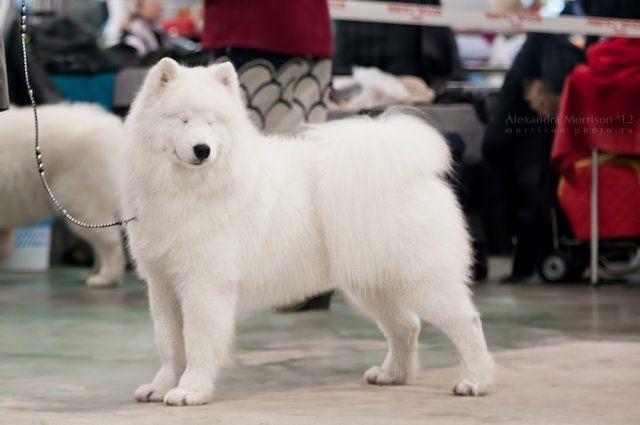 Самоедская собака - самая древняя порода 4