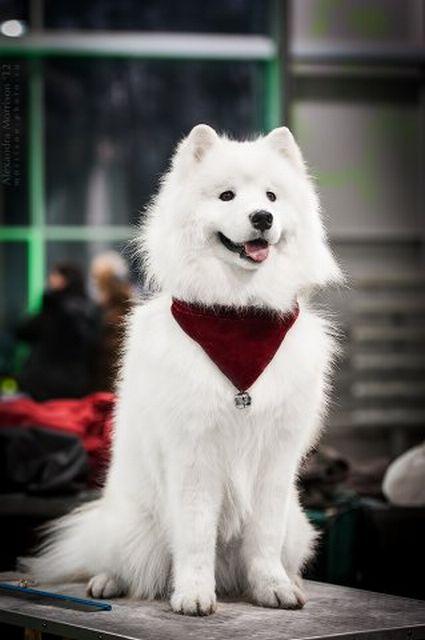 Самоедская собака - самая древняя порода 5