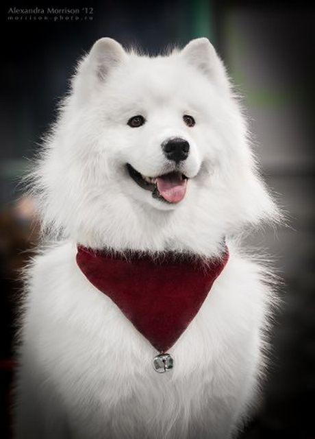 Самоедская собака - самая древняя порода 6