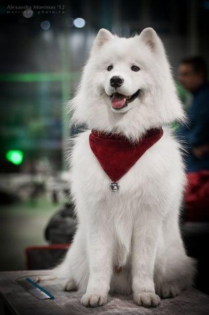Самоедская собака - самая древняя порода 7