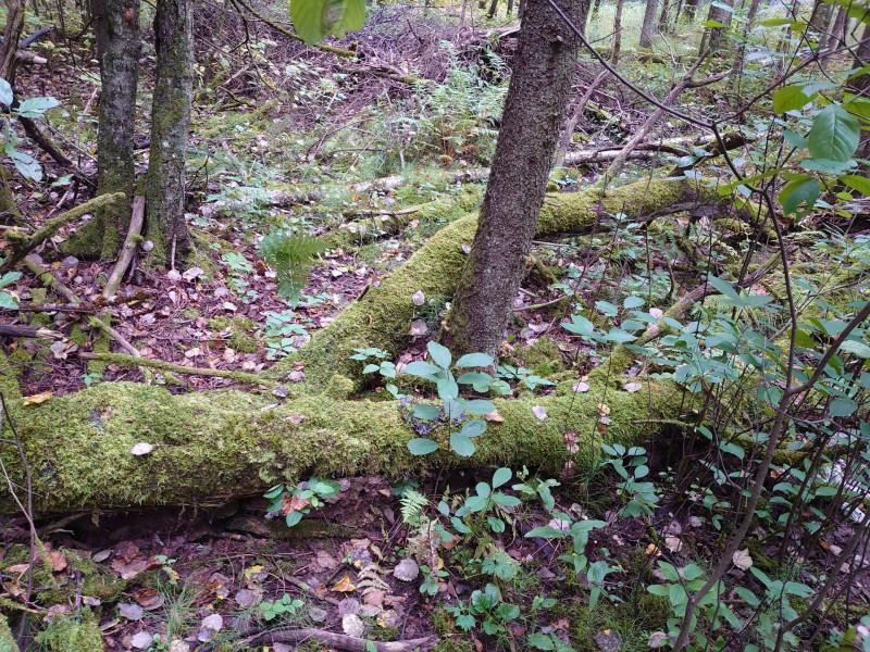 Лес ноги великана 11 сентября 2021 1.jpg