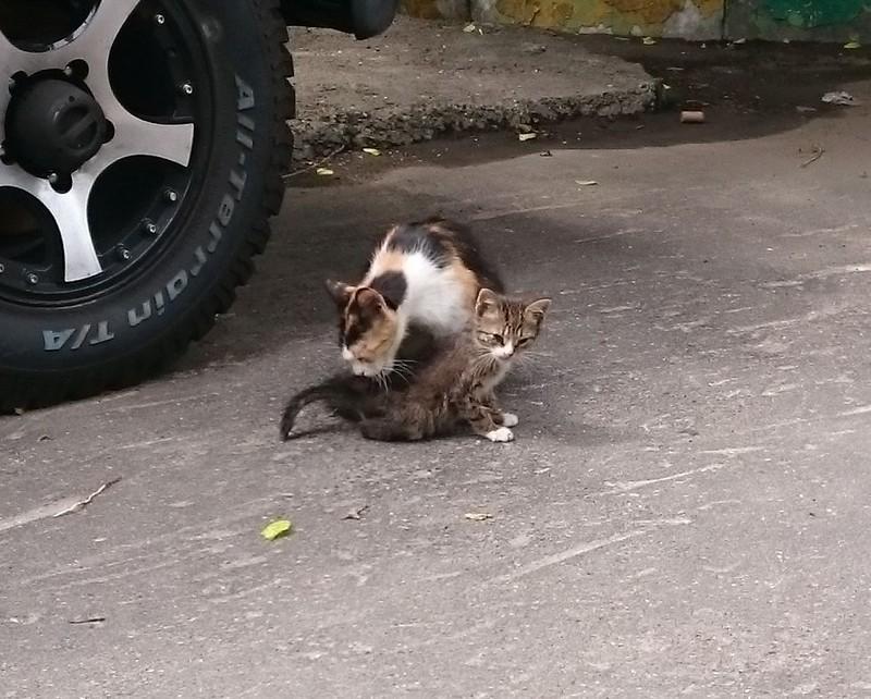 Серый котенок 2.jpg