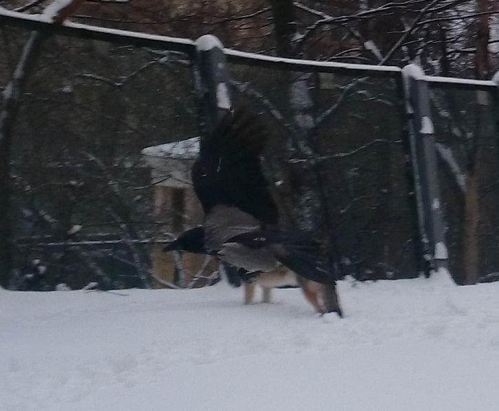 зимние вороны 6.jpg
