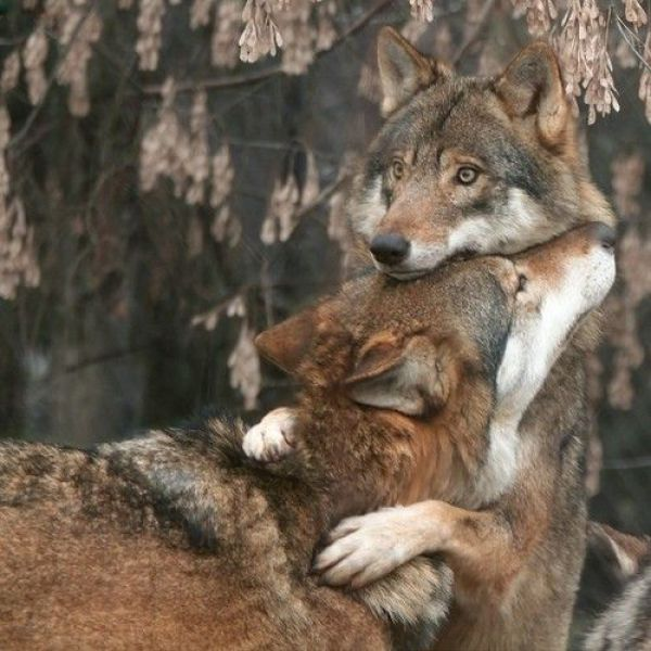 Волки.jpeg