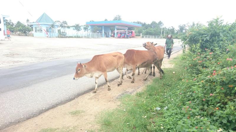 коровы 1.jpg