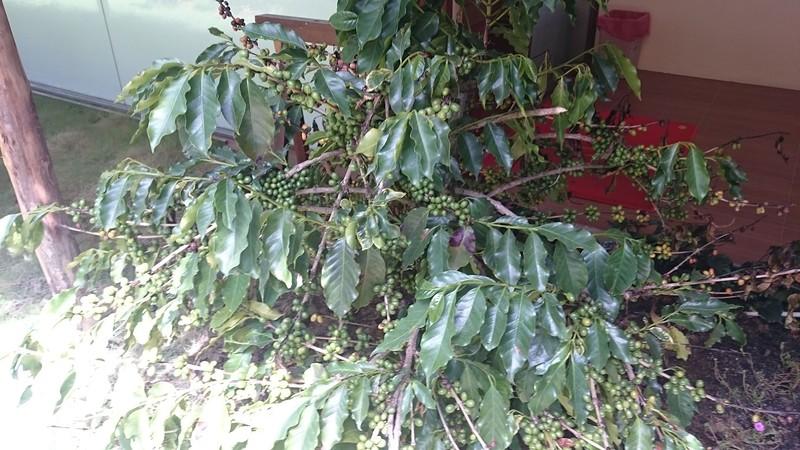 дерево с кофе.jpg
