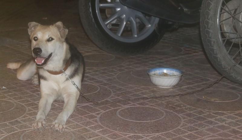 Вьетнамский пёс.jpg