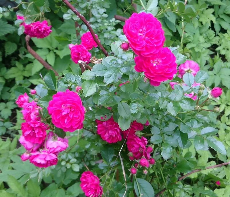 розы 3.jpg