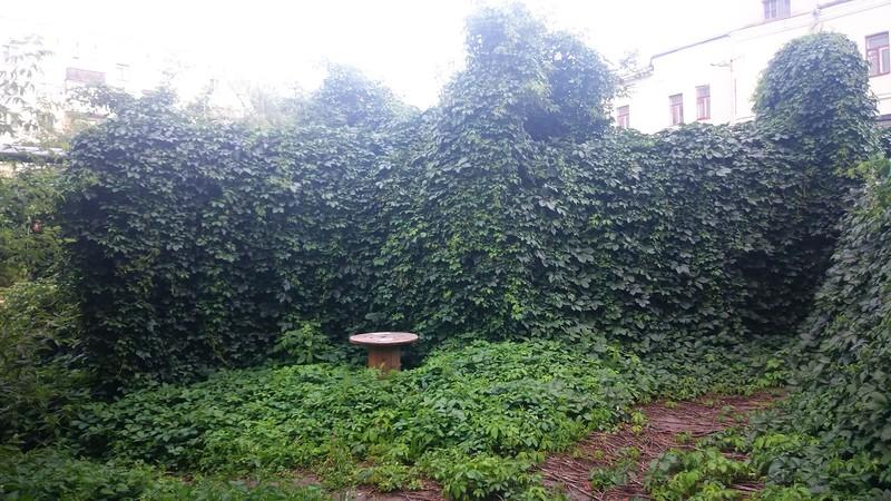 дикий виноград 2.jpg