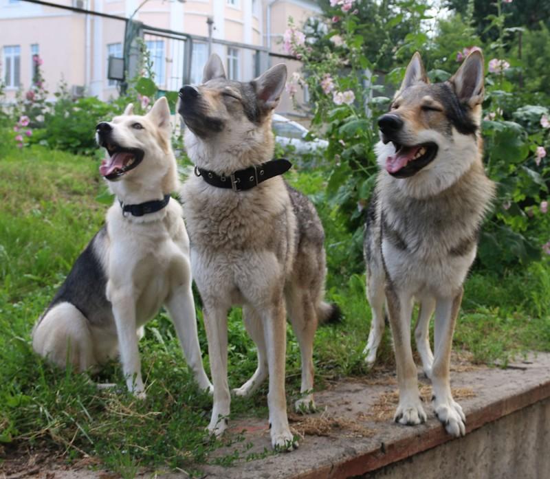 волки 7.jpg