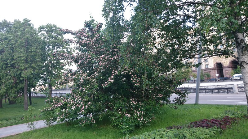 цветущее дерево 3.jpg