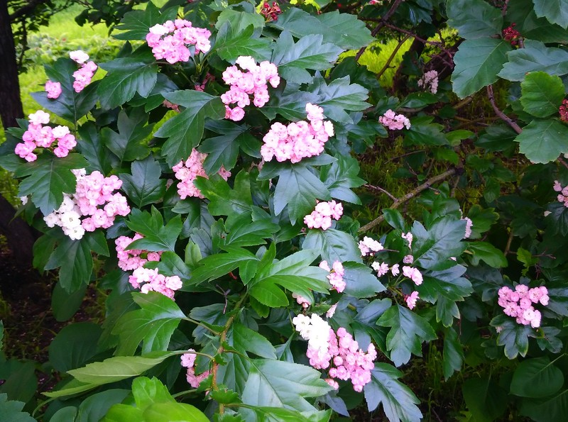 цветущее дерево 1.jpg