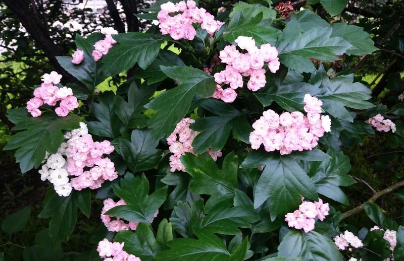 цветущее дерево 2.jpg