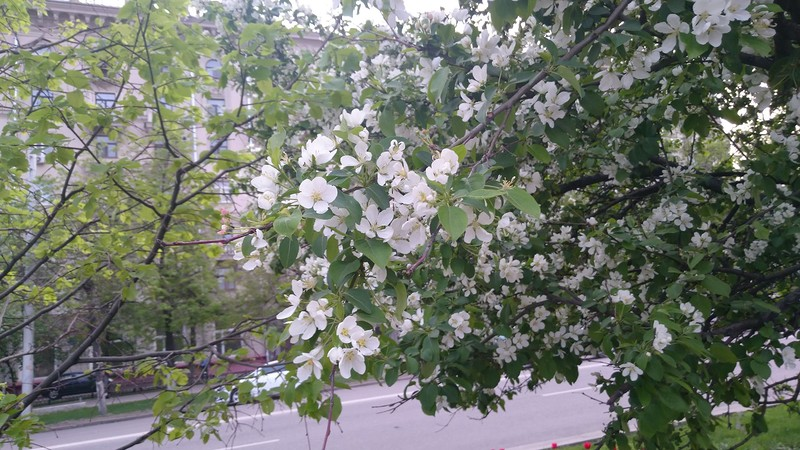 цветущая вмшня 2.jpg