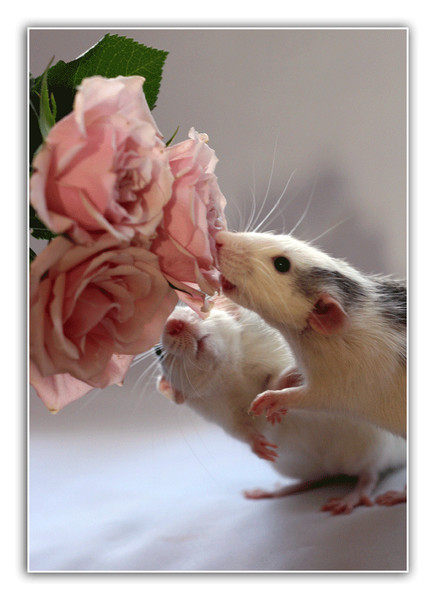крысята 19.jpg