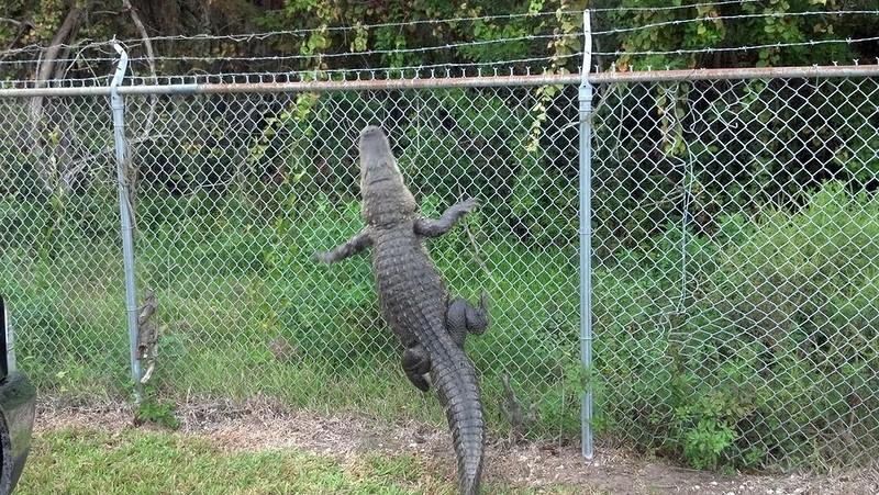 full_crocodile-grimpe-grille.jpg
