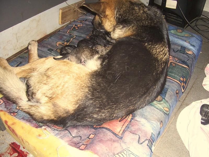 Новорождённые щенки Найды 15 января 2014 5.jpg