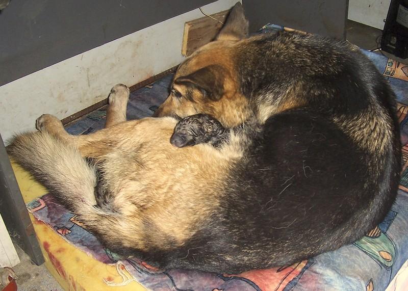 Новорождённые щенки Найды 15 января 2014 2.jpg