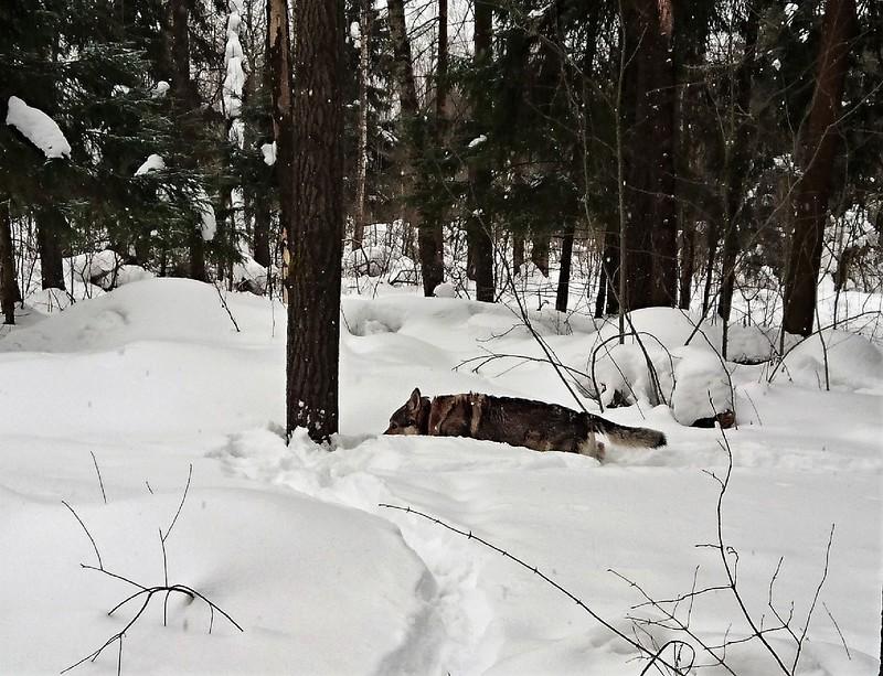 Канис 8 марта в лесу 2018122.jpg