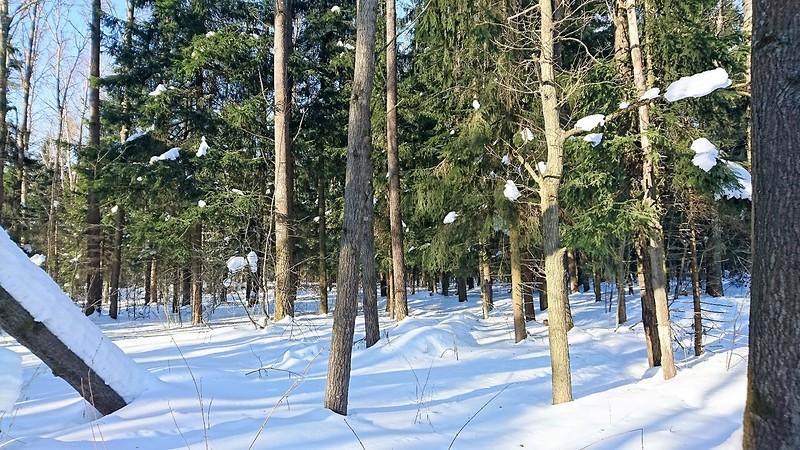 Петелтно зимний лес 1.jpg