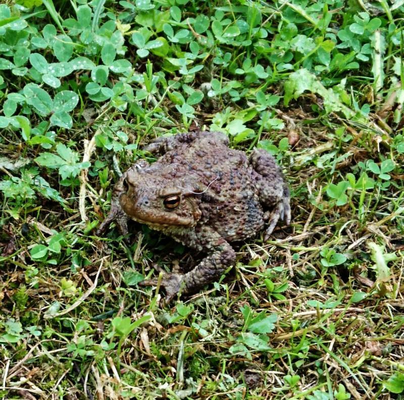 Земляная жаба 5.jpg