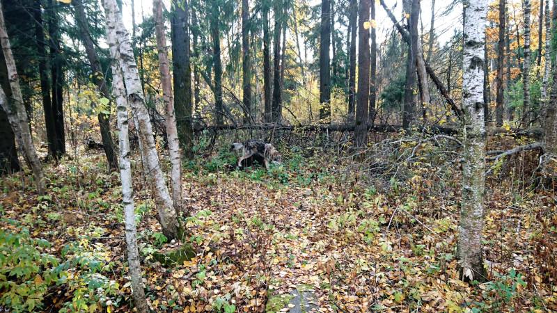 Мой лес 1.JPG
