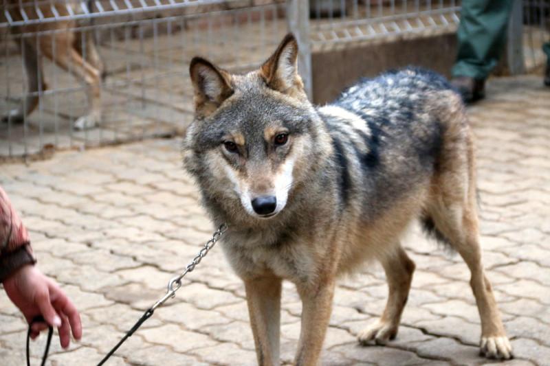 волк Февраль 10.jpg